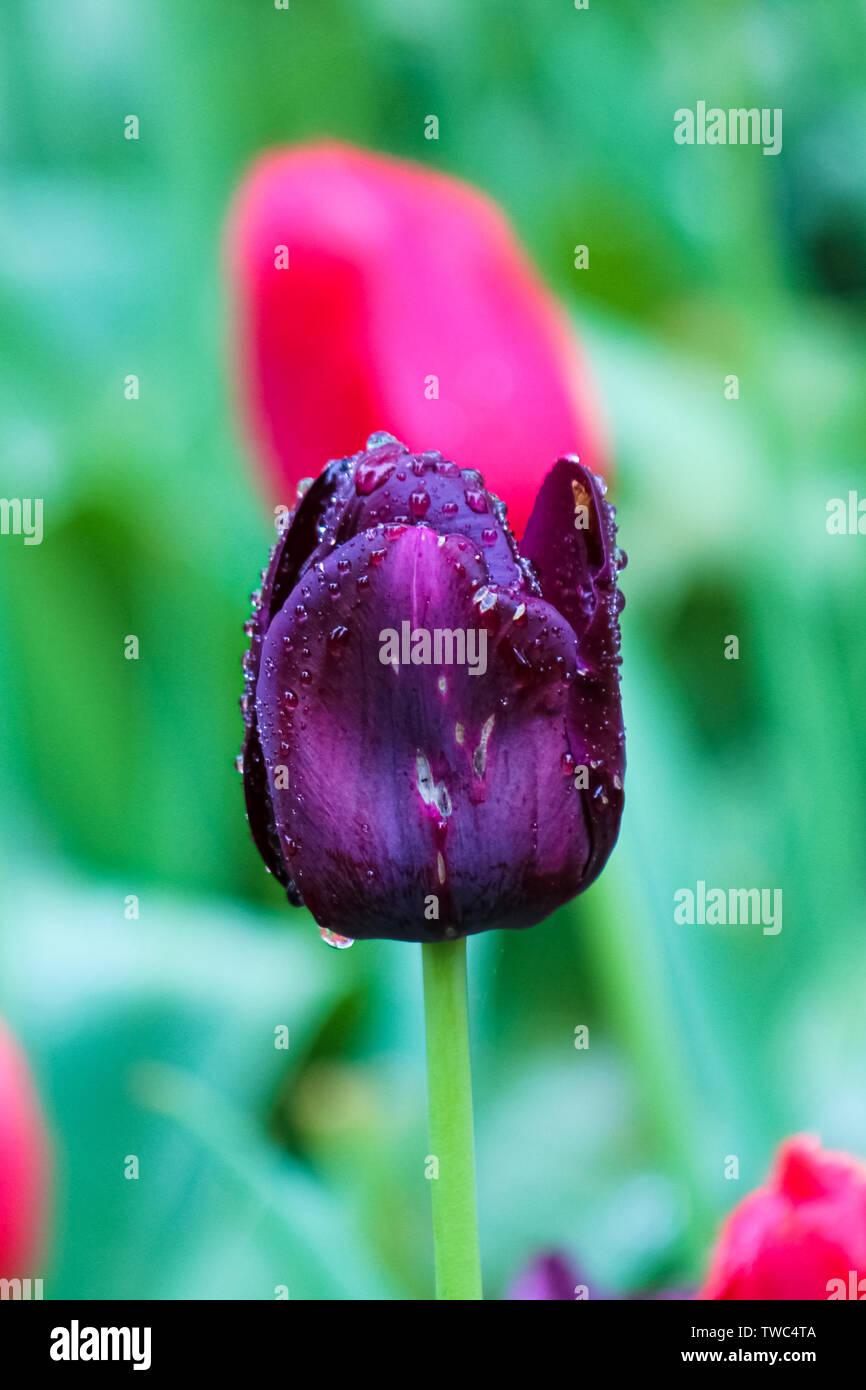 Doit On Deterrer Les Oignons De Tulipes maladie de la tulipe photos & maladie de la tulipe images