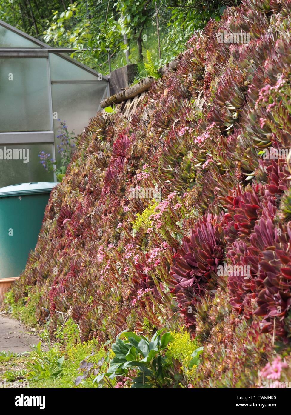 Mur Vegetal Plante Grasse succulent wall photos & succulent wall images - alamy
