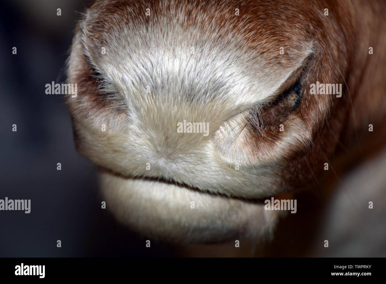 Également appelé renne Rangifer tarandus caribou, macro shot nez le nez et la bouche en Norvège à l'heure d'été Banque D'Images