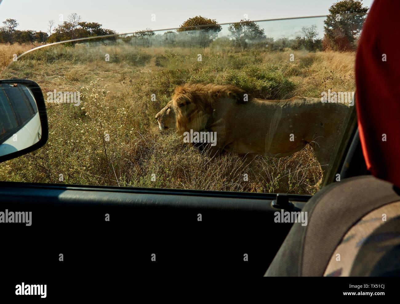 L'Afrique, Botswana, Ihaha, Parc National de Chobe, homme lion marchant près de la voiture Banque D'Images