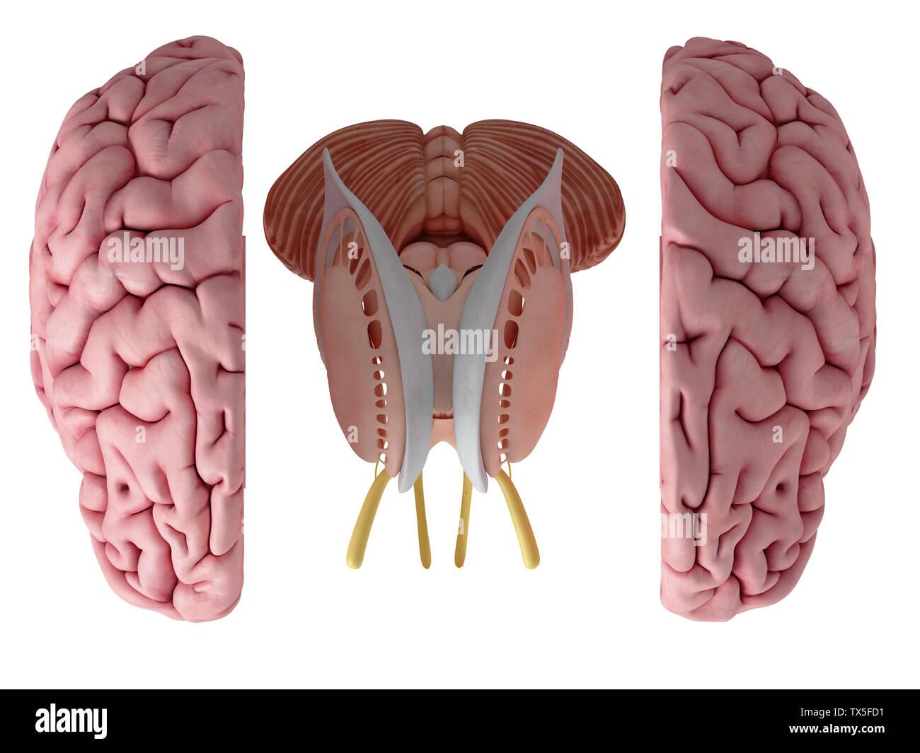 Rendu 3D, médicalement exacts illustration de l'anatomie du cerveau Photo Stock