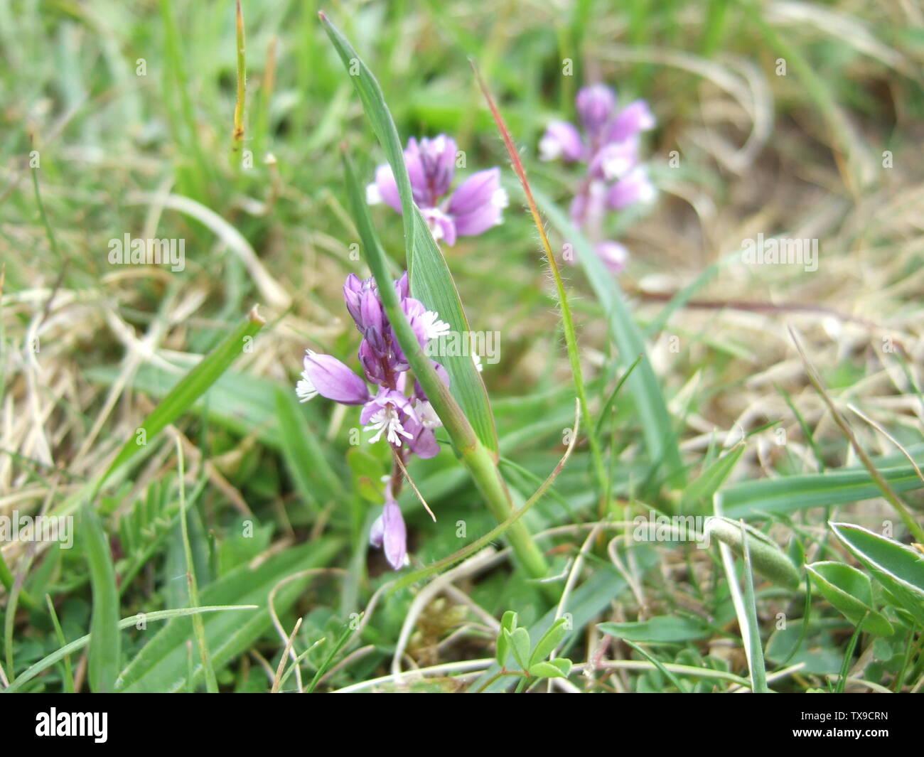 """'English: Polygale incarnat (Polygala sp.) croissant sur la craie, Wiltshire, Royaume-Uni. La majorité des plantes ont fleuri bleu à proximité mais qui n'avait pas de photo de fleurs mauve aussi chargé comme ilkwort """"blue'); 4 mai 2009 (en fonction des données Exif); son propre travail de l'original uploader; utilisateur:Jasper33; ' Photo Stock"""