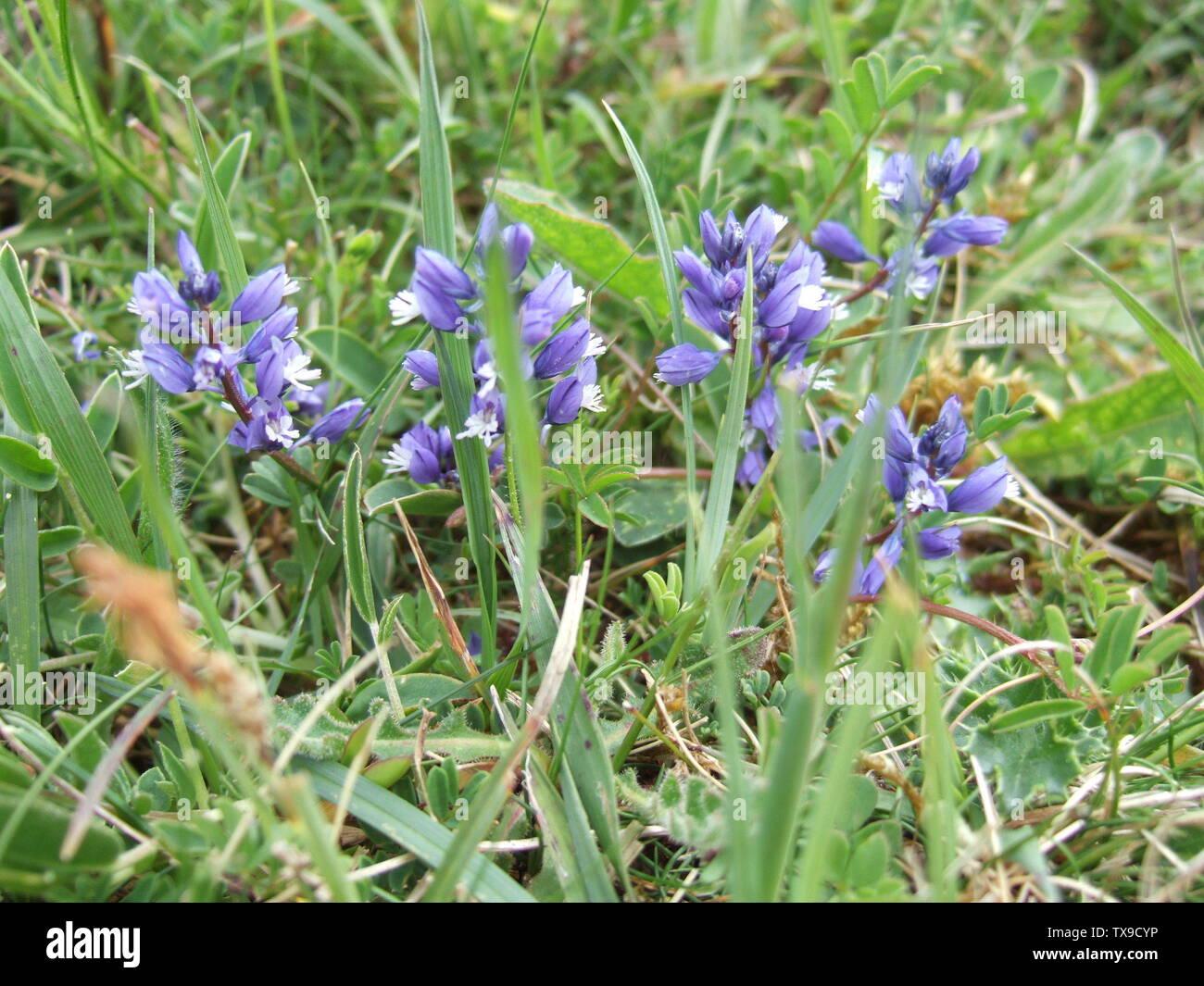 """'English: Polygale incarnat (Polygala sp.) croissant sur la craie, Wiltshire, Royaume-Uni. La majorité des plantes ont fleuri bleu mais il y en avait un avec des fleurs mauves à proximité (photo aussi chargé que """"ilkwort mauve'); 4 mai 2009 (en fonction des données Exif); son propre travail de l'original uploader; utilisateur:Jasper33; ' Photo Stock"""
