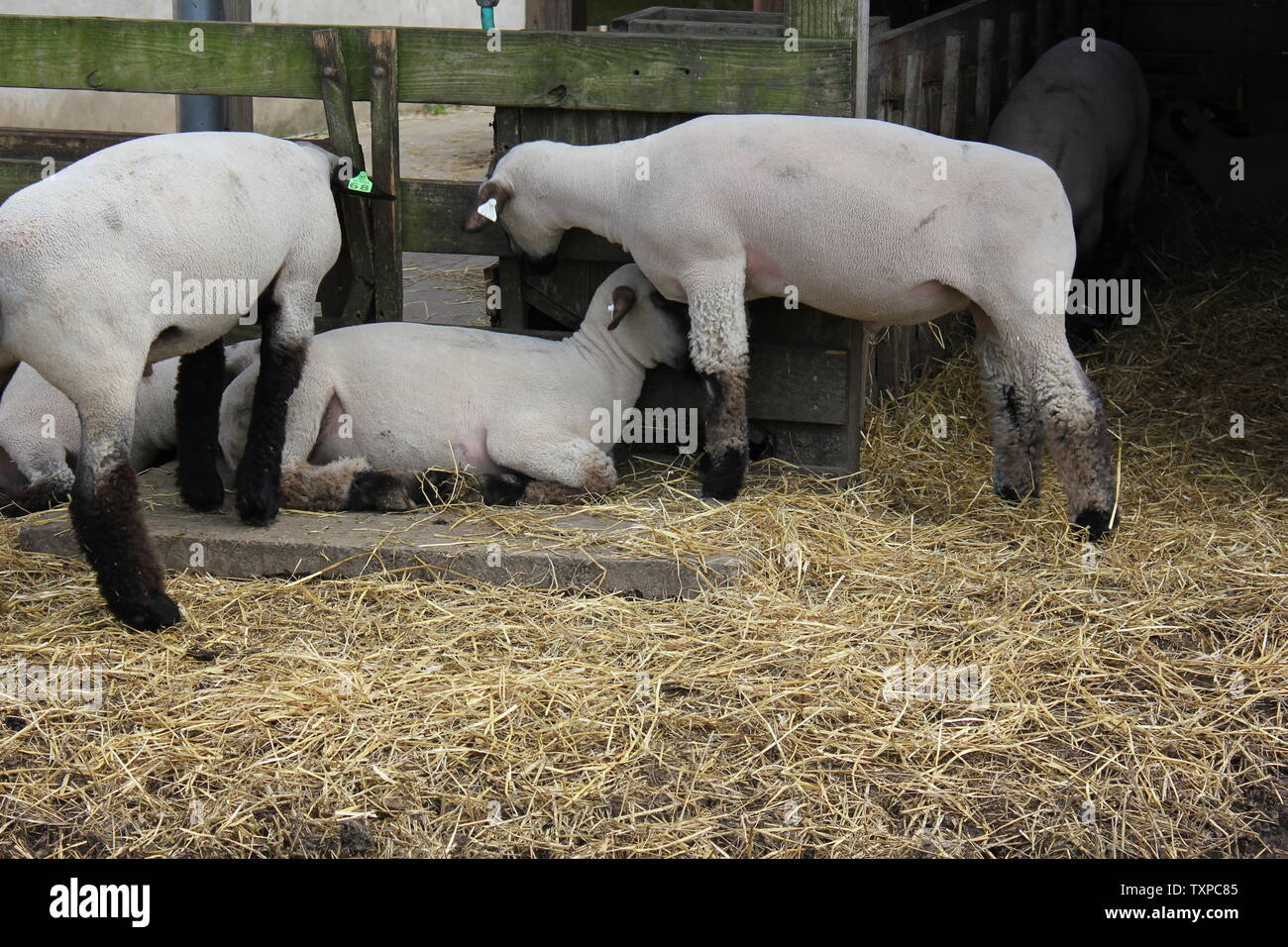 Les moutons domestiques, Ovis aries, race Suffolk, sortir dans leur enclos de porcs à la ferme. Banque D'Images