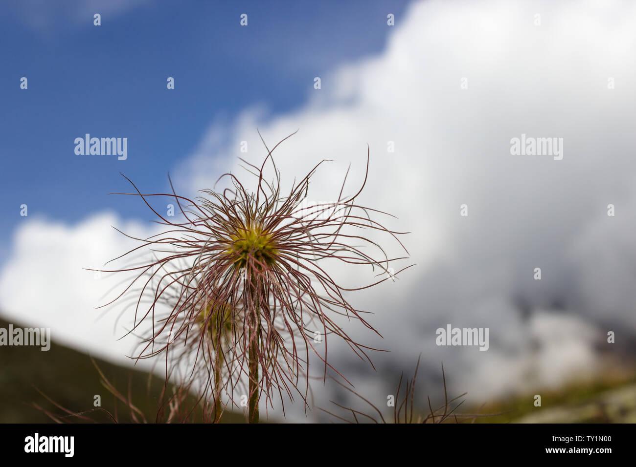 Fleurs sauvages Graines-moindre bardane 50 graines