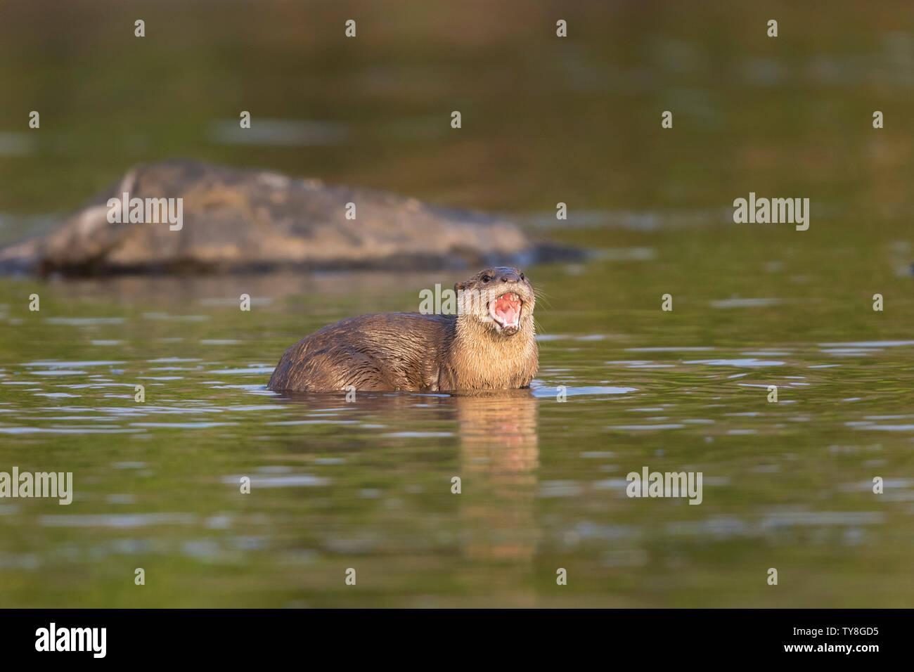 L'image de la loutre à revêtement lisse (Cerdocyon perspicillata) a été prise dans la rivière Chambal, Rajasthan, Inde Banque D'Images