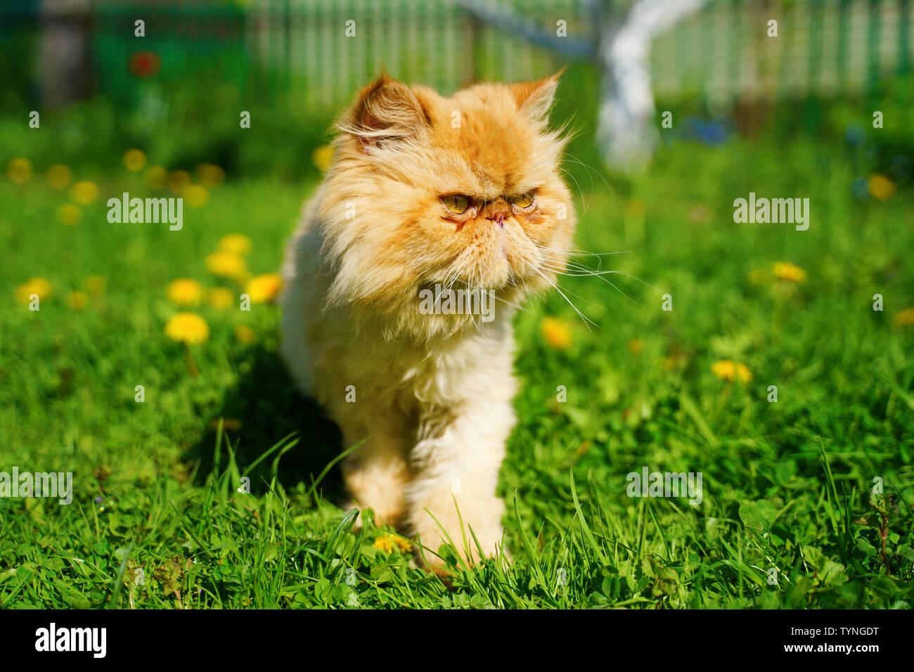 Chat persan rouge dans l'herbe verte. Banque D'Images