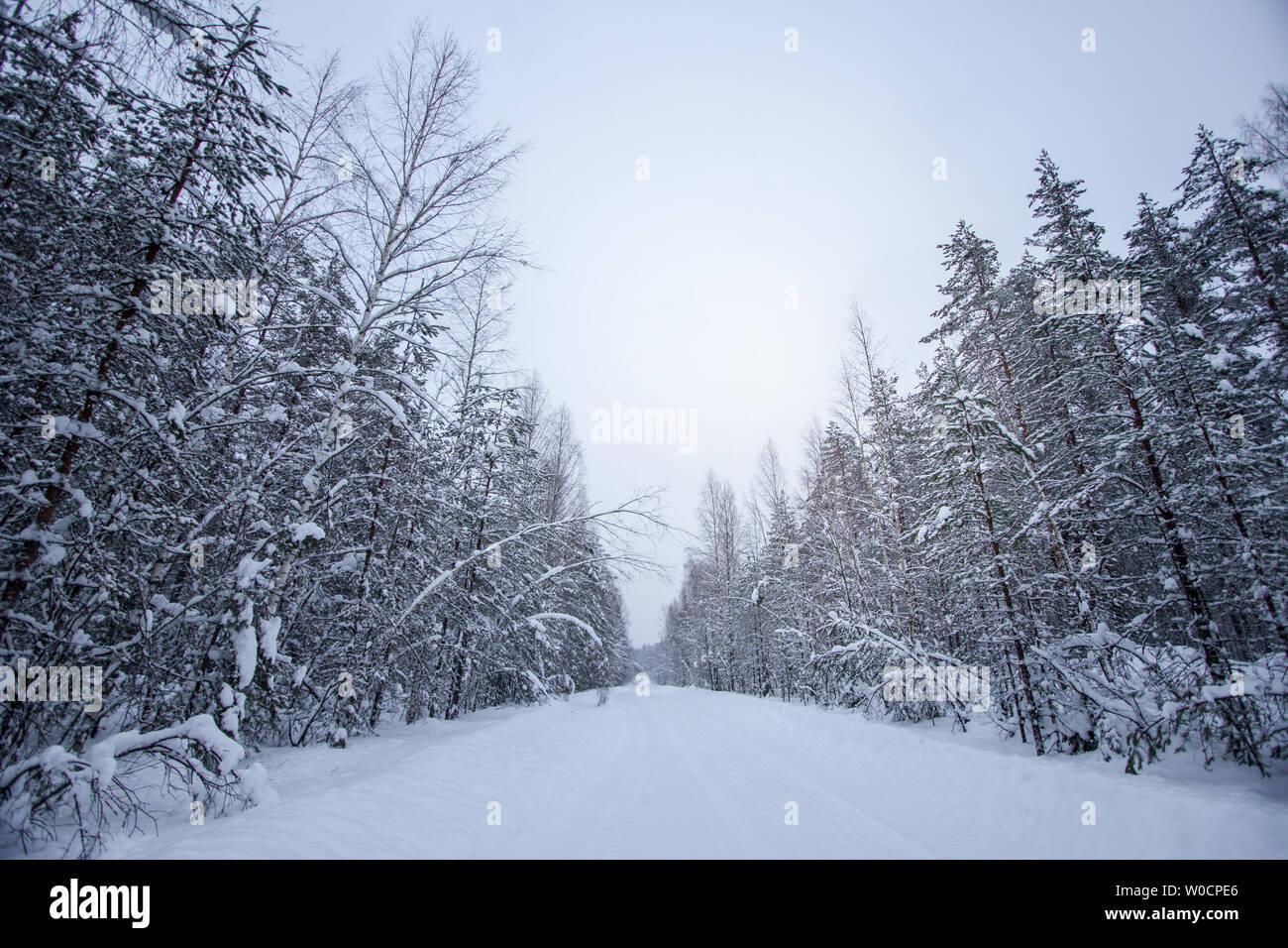 Paysage d'hiver dans la forêt enneigée à Saint-Pétersbourg, Russie Banque D'Images