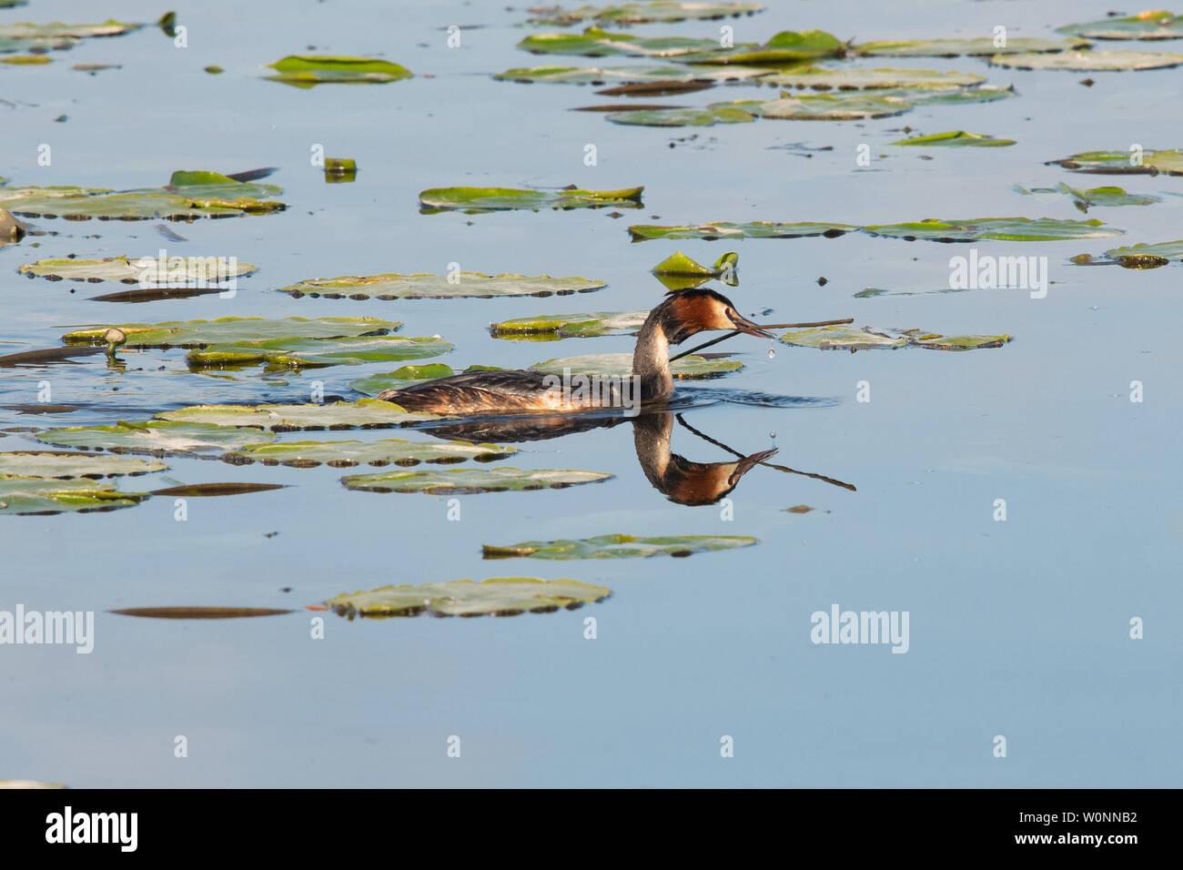 Grèbe huppé - Podiceps cristatus - ramassage de roseaux comme matériel de nidification, Rockland Large, Norfolk, England, UK Photo Stock