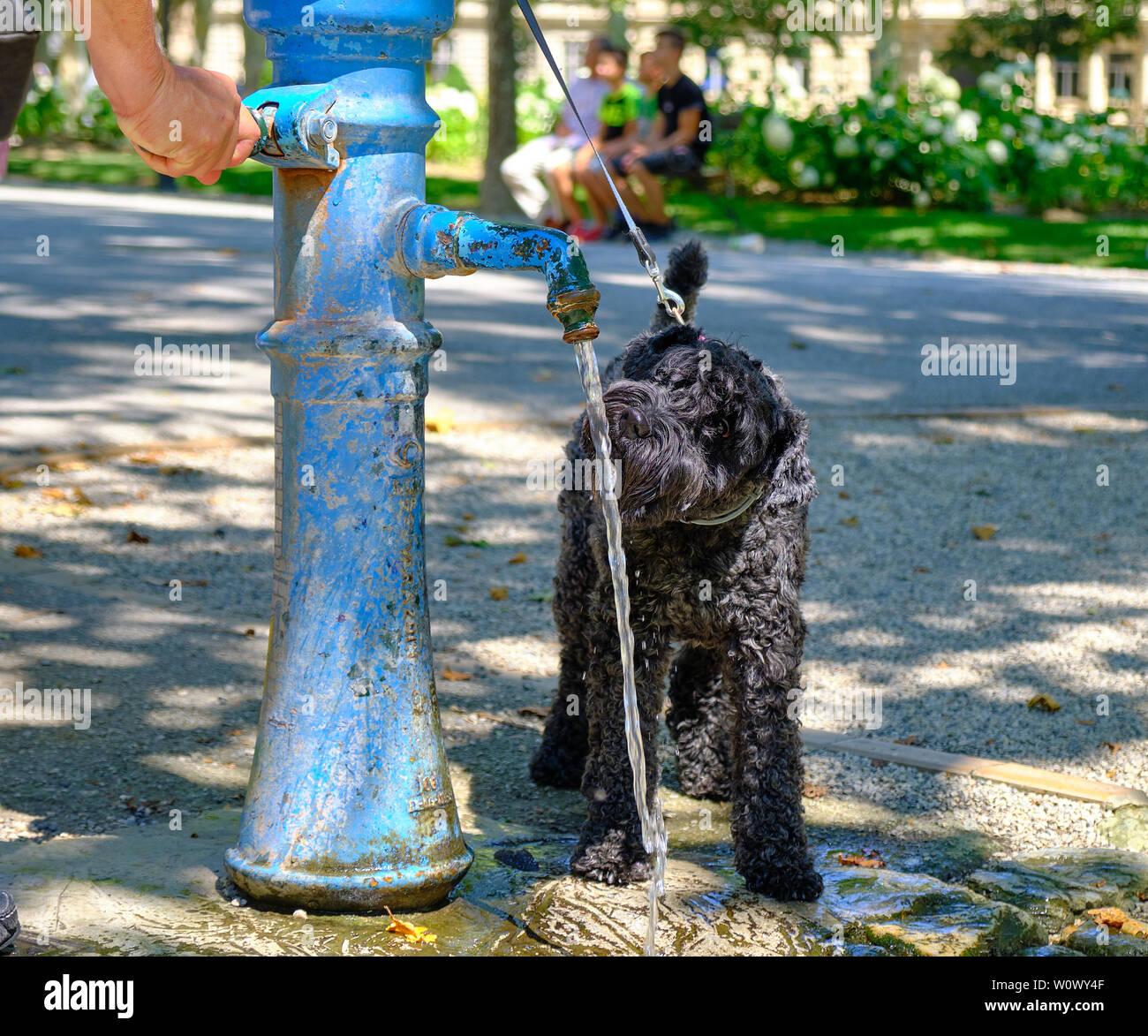 Chien Noir buvant dans une fontaine publique dans un parc, afin d'hydrater pendant la vague de chaleur en Europe Banque D'Images