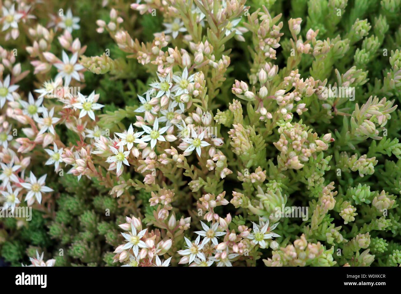 Plante Couvre Sol Soleil couvre sol succulent photos & couvre sol succulent images