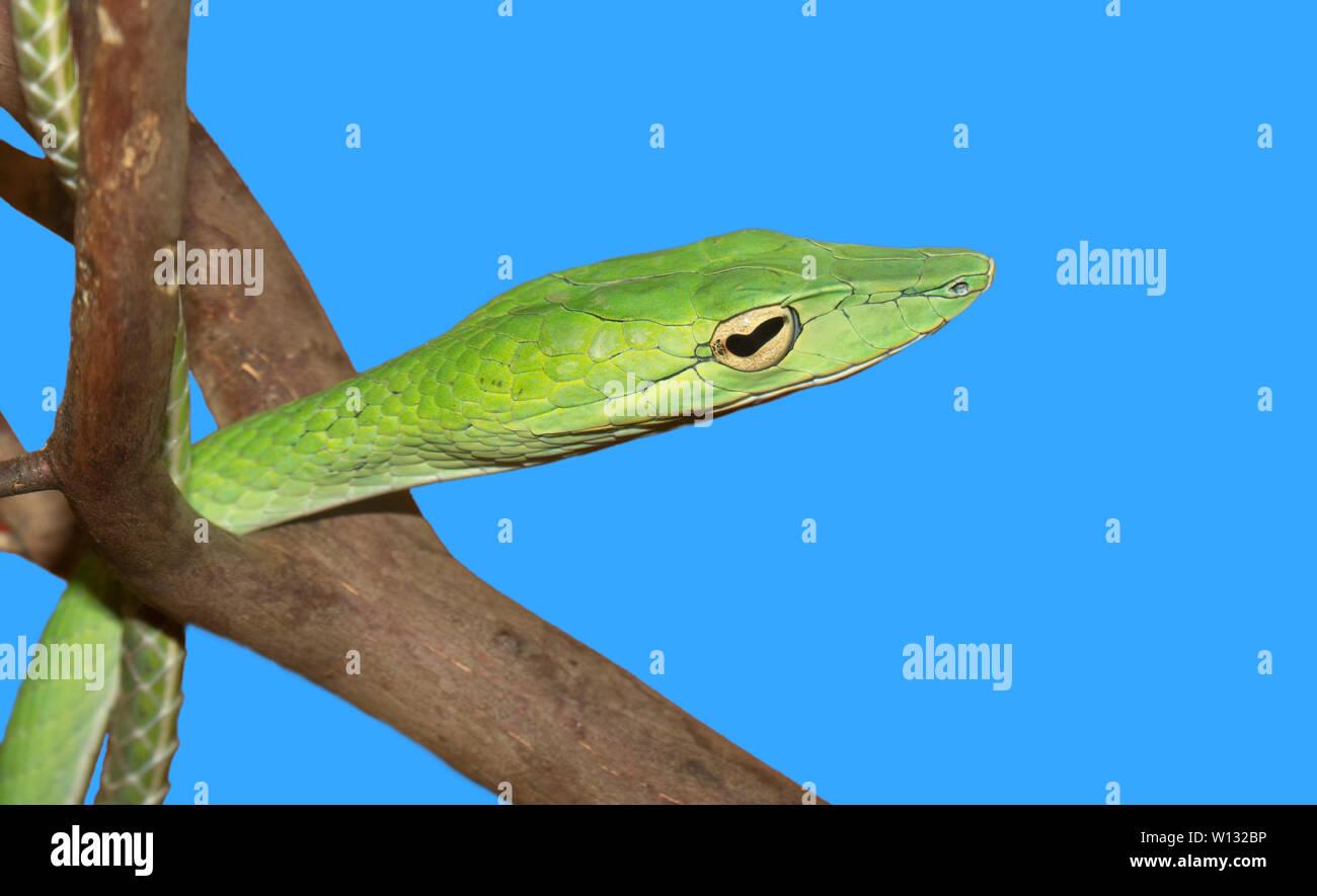 Whip bec long serpent (Ahaetulla nasuta) sur un fond bleu Banque D'Images