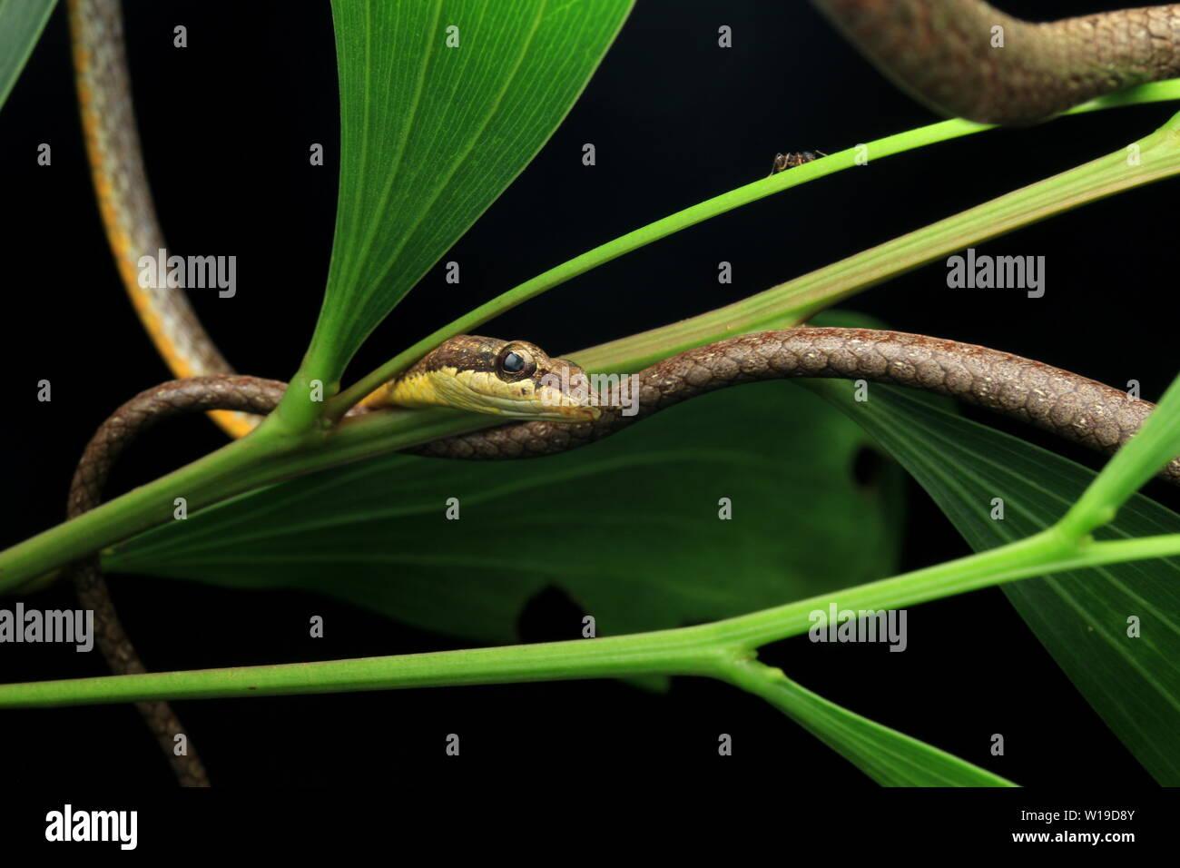 Serpent de vigne commune, whip bec long serpent, Banque D'Images