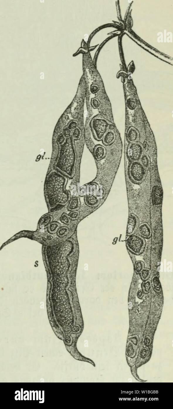 "Image d'archive à partir de la page 396 de Die Frauenspezifische der Pflanzen; ein. Die Frauenspezifische der Pflanzen; Ein Handbuch für Land- und Forstwirte, Gärtner, Gartenfreunde und Botaniker . diekrankheitend02fran Année: 1895 13. Pyronomycetes Jortfati: chapitre 381, iuelc SluBcniuanb{)er bie ber (5 piborini65e((e burc()bol)rt mi&gt; bann à Jori"" enuciterten§"" ci gii, barmartitj abeiiS» Snneiirainn» beu ber (F-pibermiyelle aufiiUt, uin t""sur l)ier al§ }§ aii J?i)dans ceIium benact bie)barteu ss'iiicitcr brincjcu ln u. 5)ic]Snfcftion alarafit c fit. Jd) t)abe et iüeiieu fönuen; nad)ba, ber ilj burd) ben Samen Über Photo Stock"