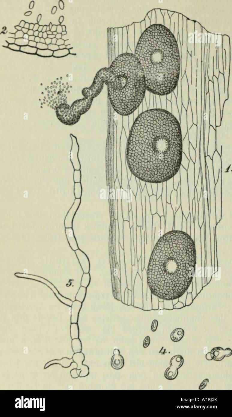 "Image d'archive à partir de la page 415 de Die Frauenspezifische der Pflanzen; ein. Die Frauenspezifische der Pflanzen; Ein Handbuch für Land- und Forstwirte, Gärtner, Gartenfreunde und Botaniker . diekrankheitend02fran Année: 1895 4(X) I. 3lbfct arafitif)nitt:((;e ""pilje jadit, ift crft fürjlid cntOlt luni) mir't être unb[d)rieben luorbcn'). S>ic crfraiiftcn fiübcnpfliiiijo Zdk ber fi'jiemlicf Mcfen b Uon), mit dicrfd luiinboii)eibc= uor[Cl)onon JJh) ccliiimfät bnrd>cii)= 'üiU iucld'ii, c)3bic fU= i)bun äiito vcnb1)bol)bell iiuD Siinciirauiii ber 3<Uen à bcn"" rel |d)Pharmacie Sieben[teii liid)"" ijen burd)iüad)[prae, uou Photo Stock"