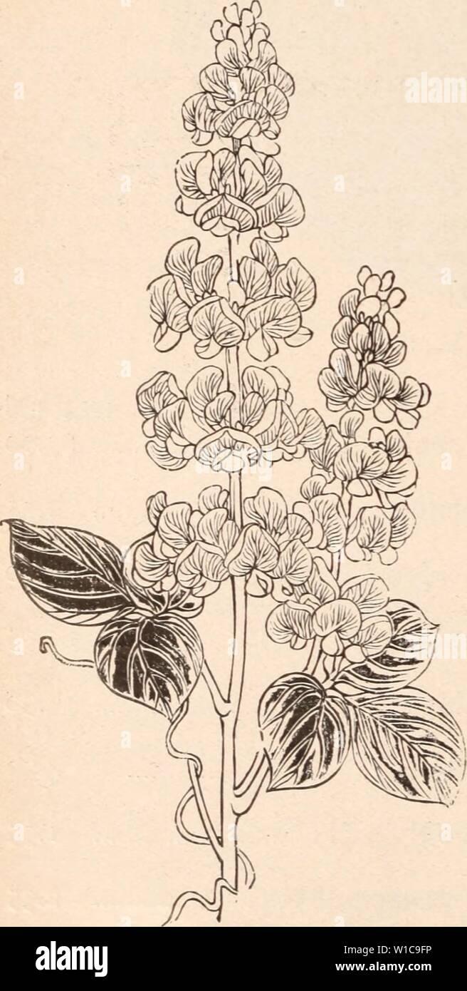 Image d'archive à partir de la page 573 du catalogue descriptif de la floraison, plantes ornementales. Catalogue descriptif de la floraison, les arbres d'ornement, arbustes, bulbes, plantes médicinales, plantes grimpantes, arbres fruitiers, &c., &c., &c. / Pour la vente par le Yokohama Nursery Co., Limited. . Descriptivecatal1909yoko Année: gloire du matin, NOUVEAU GÉANT VAR., cultivé dans des pots. MORNING GLORY impérial japonais. par livre. NeAV Pigmy dwarf ' ' $2.00 Dolichos lablab. '.' La Lumière du jour, par paquet , iiaiit nouvelle variété, immense grande fleur je meilleur double de couleurs assorties 2 couleurs jaune, rare, unique par pkt meilleur single pétales frangées meilleur seul bol Photo Stock