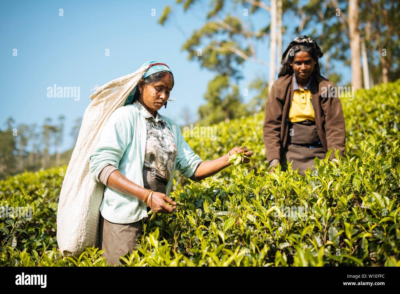 Femme tamoule Plateau Picker dans une plantation de thé dans les Highlands, Nuwara Eliya, Province du Centre, au Sri Lanka, en Asie Banque D'Images