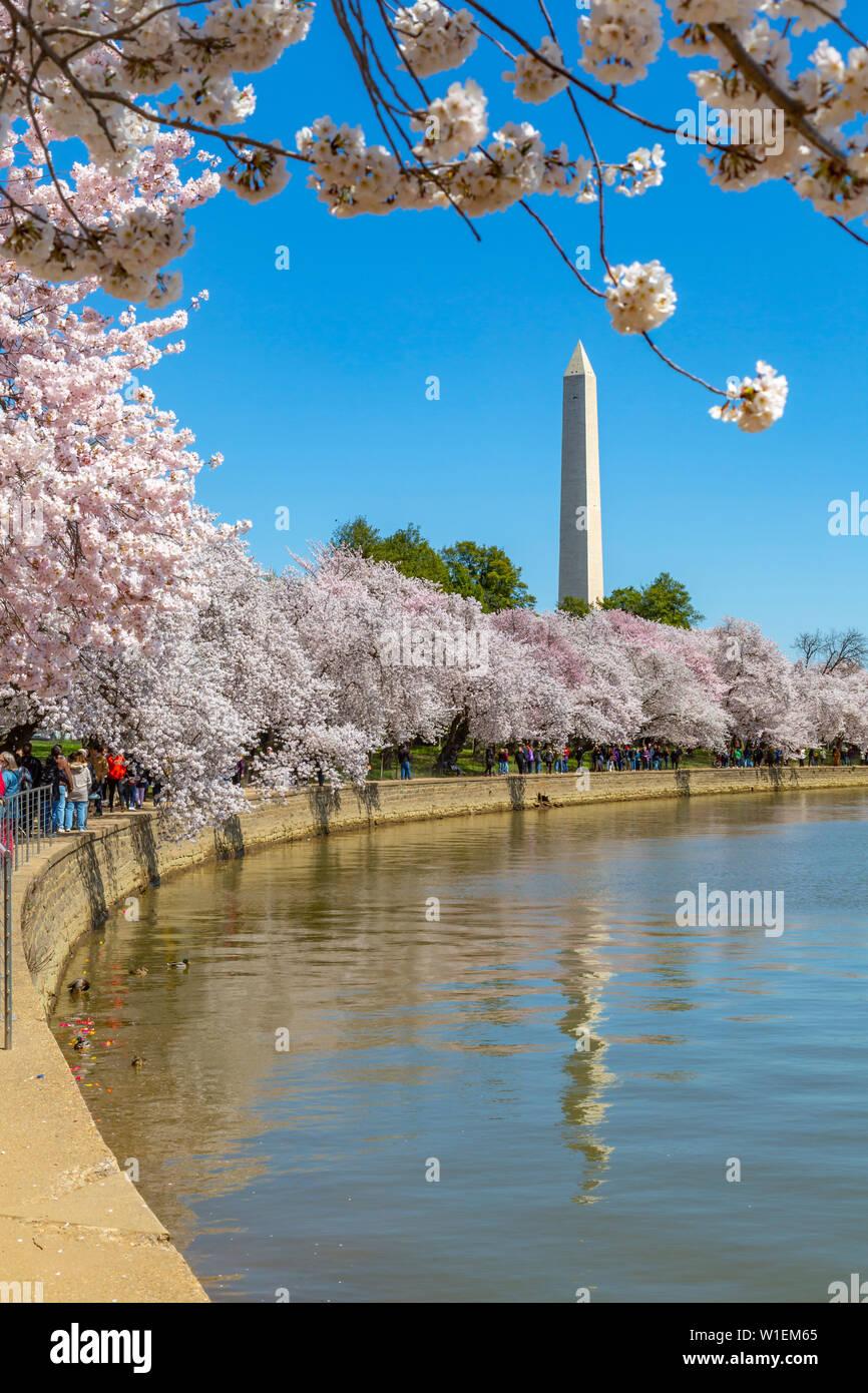 Vue sur le Washington Monument et cerisiers au printemps, Washington D.C., Etats-Unis d'Amérique, Amérique du Nord Banque D'Images