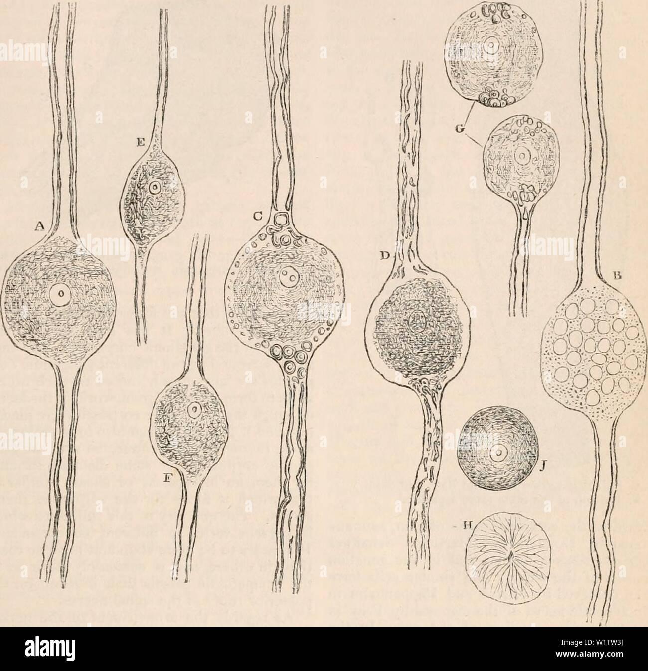 """Image d'archive à partir de la page 512 de la cyclopaedia de l'anatomie et. La cyclopaedia de l'anatomie et physiologie cyclopdiaofana05todd Année: 1859 SYMPATHIQUE. •137 cellules, lorsque le nerf-tubes sortir à l'une ou l'autre eux tourne vers la périphérie, l'un à l'extrémité, car, en général, elles le font, alors que l'un de l'autre vers le centres nerveux. Fig. 286. -&Lt; m$ /,'•' , • ••-. '; I I """", - •• -&Lt;•-. • .-.-.-- • J - - -,.'. •• - -.--••.: -.J':, corpuscules ganglionnaire de l'un des ganglions spinaux dans le rayon. Dans un, le contenu granulaire atteindre tout à fait à la marge de la vésicule; B, co-ganglionnaires Banque D'Images"""