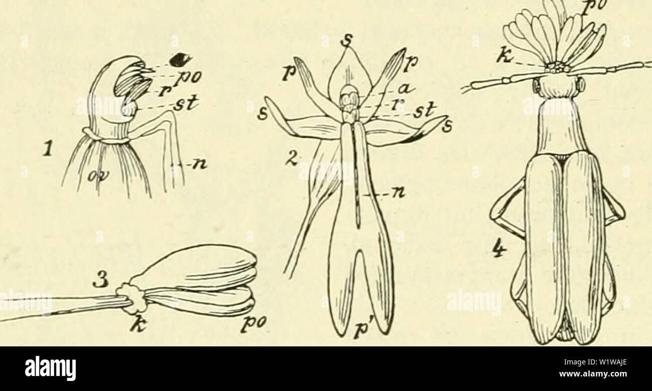 Image d'archive à partir de la page 645 de De flora van Nederland (1909-11). De flora van Nederland defloravannederl01heuk Année: 1909-11. 604 ORCHIDACEAE. - FAMILIE 19. En stempelvlakte helmknop Tusschen bevindt zich het snaveltje eironde als een breed, spitse schub, die naar de stempelvlakte uitstaat toe bol en aan den top 2 kleine openingen heeft. Cette schub est hol fr dans 2 kamertjes vervult verdeeld, zij de rol van hechtkliertje ongesteelde- stuifmeel voor de klompjes, die hier weder uit poedervormig stuifmeel opereren. Het vrucht- débutsel est ongedraaid zelf, doch zit op een gedraaiden l'acier. Bloemen g Photo Stock