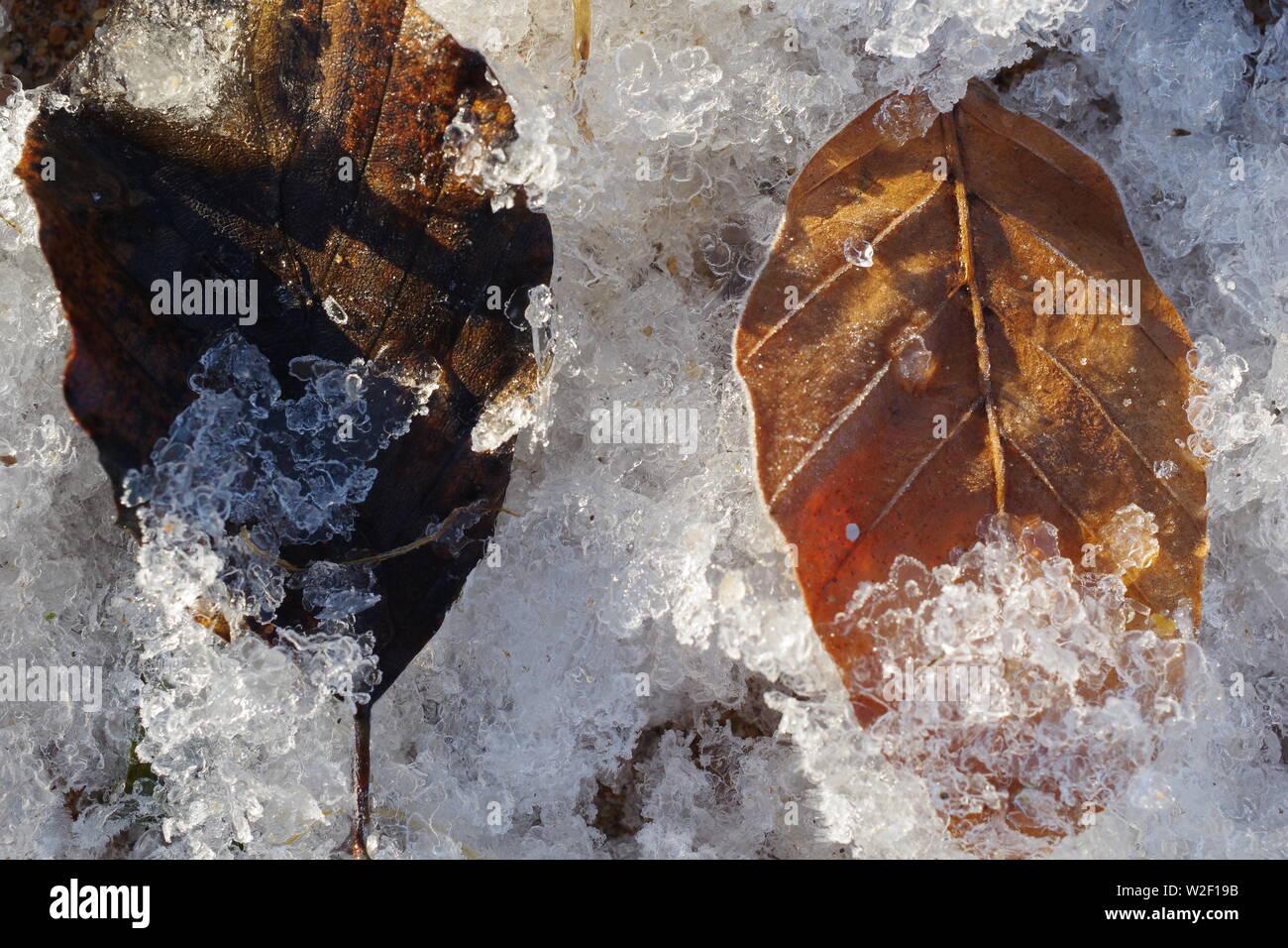 Feuille d'hêtre automne tombé Frosty (Fagus sylvatica) sur la berge à Donmouth, Aberdeen, Écosse, Royaume-Uni. Banque D'Images