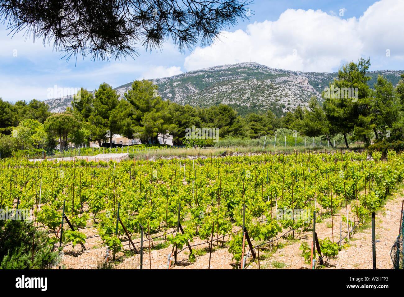 Vignes, Bol, Brac, Dalmatie, Croatie Photo Stock