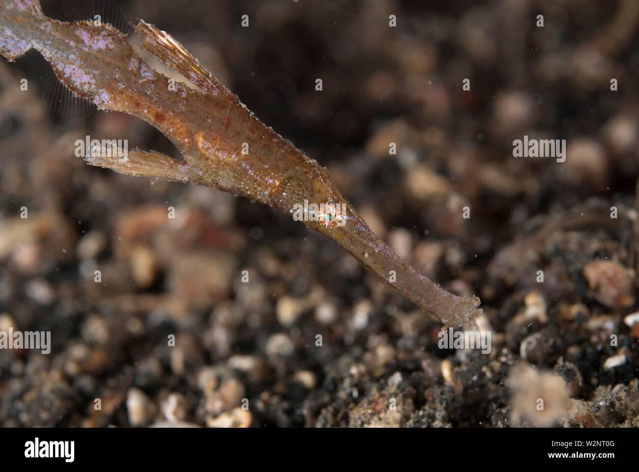 Syngnathe fantôme robuste (Solenostomus cyanopterus, famille Solenostomidae), Larry Retak, site de plongée Détroit de Lembeh, Sulawesi, Indonésie. Photo Stock