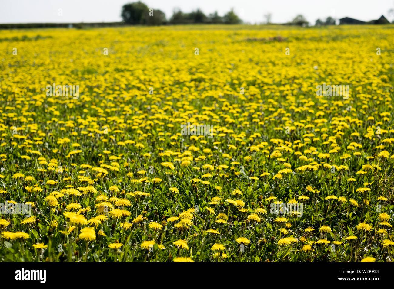 Vue sur un champ de pissenlits avec des fleurs jaune vif. Banque D'Images