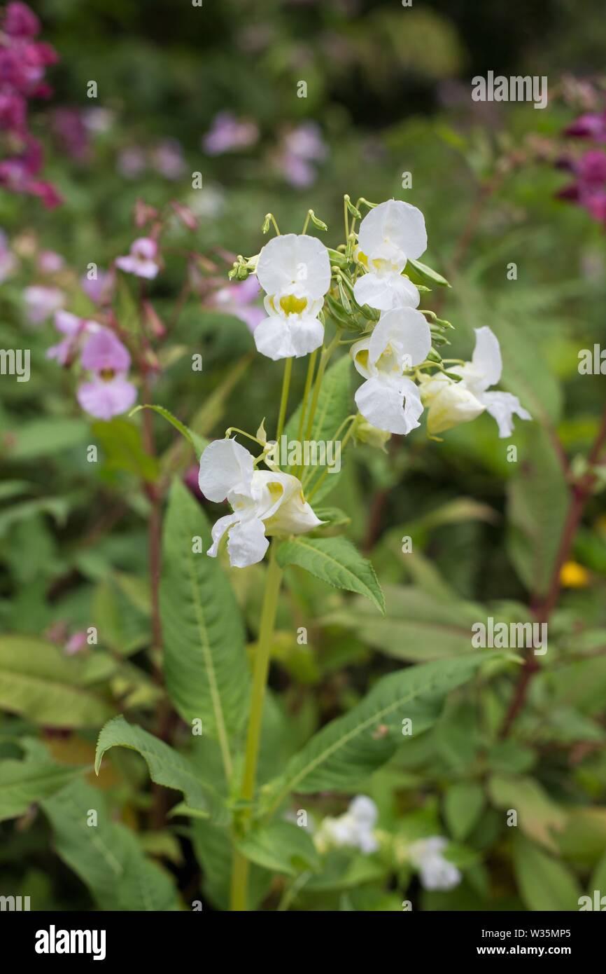 Impatiens glandulifera balsamine de l'Himalaya 'fleurs'. Banque D'Images