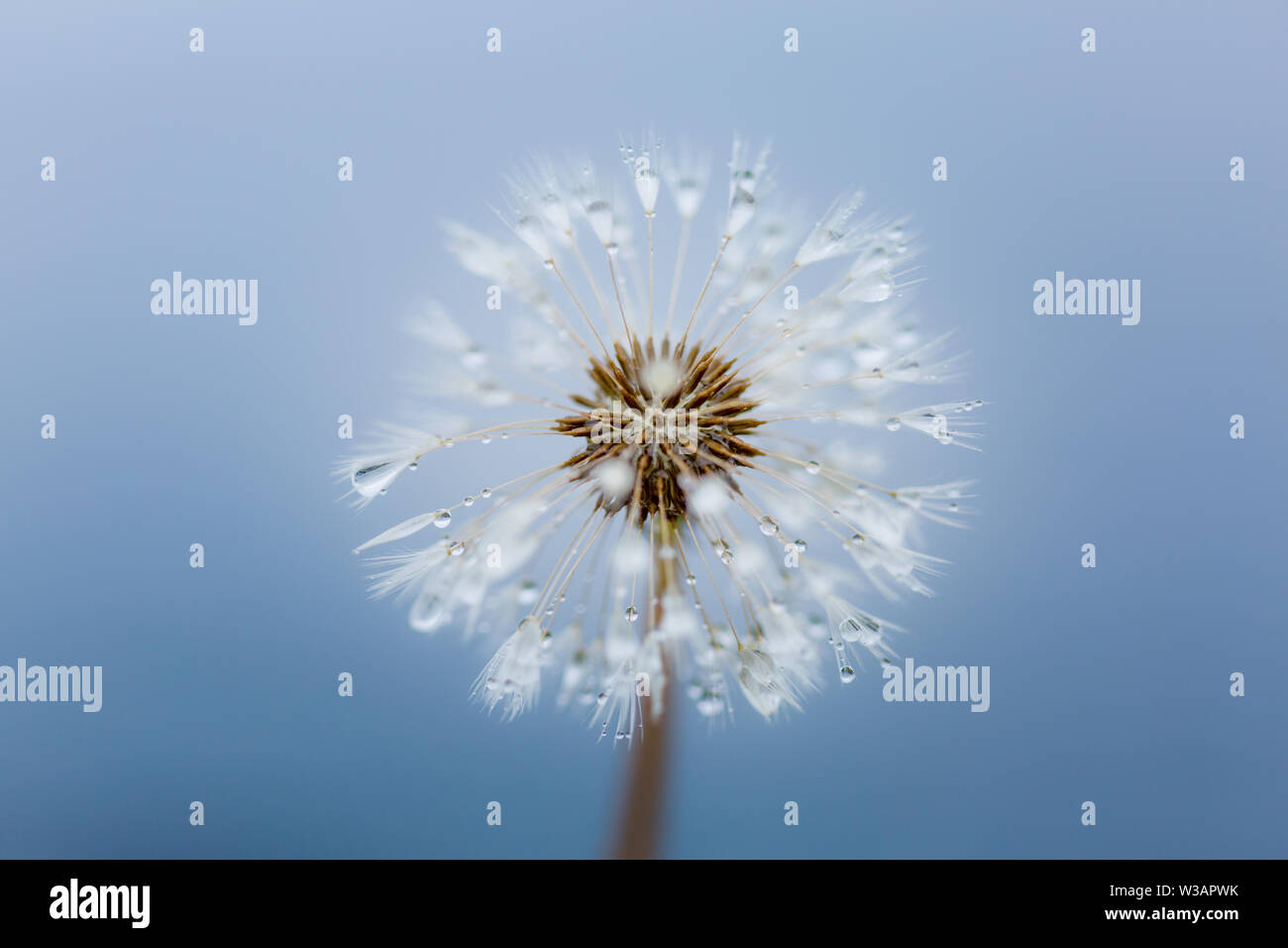 Délicat et belle tête de graines de pissenlit avec gouttes de pluie contre le bleu de la mer, la macro-photographie. Banque D'Images