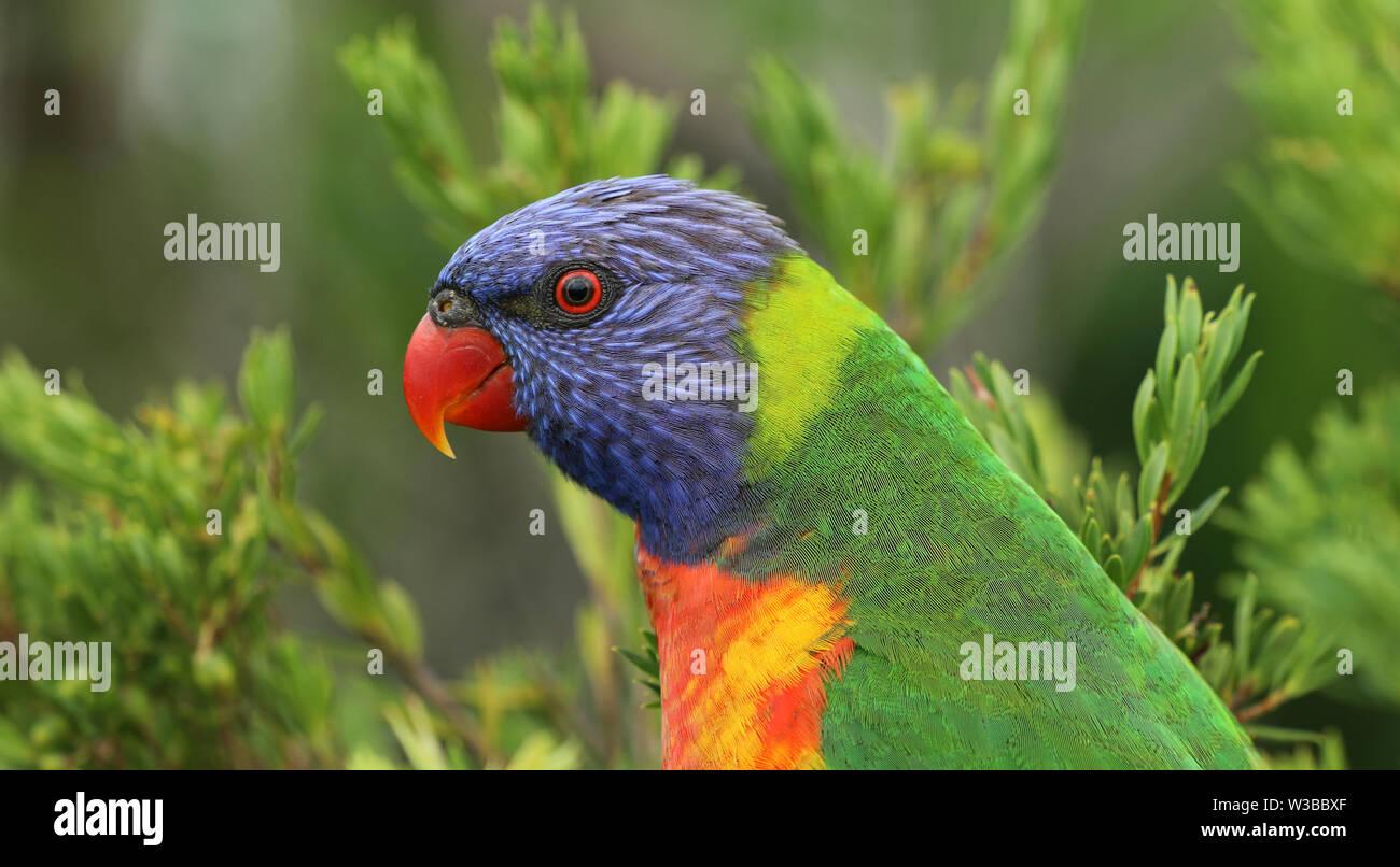 Allfarblori Parrot en Australie Banque D'Images