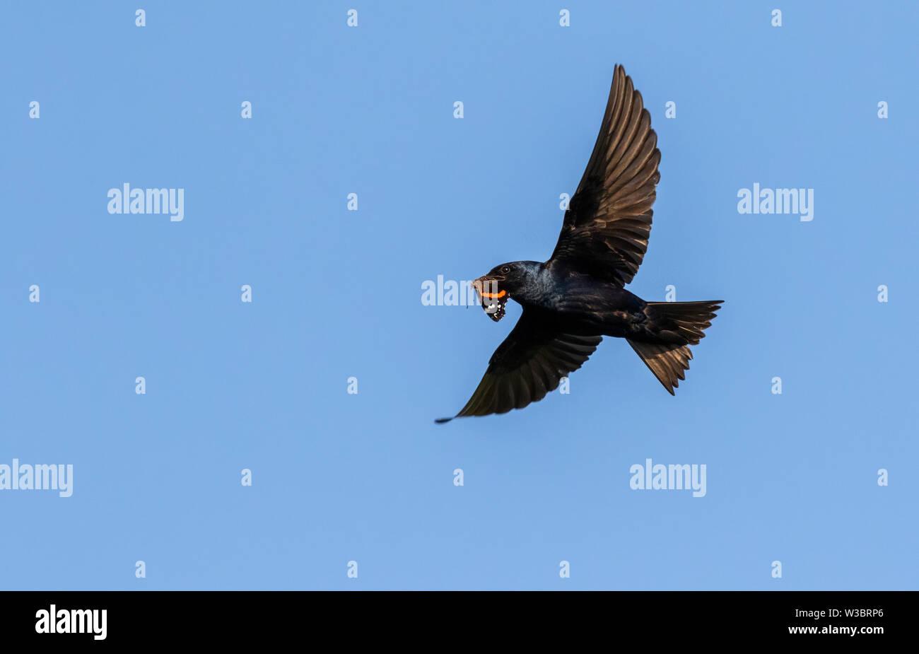 (Progne subis Hirondelle) battant avec papillon proie dans le bec, Iowa, États-Unis Banque D'Images