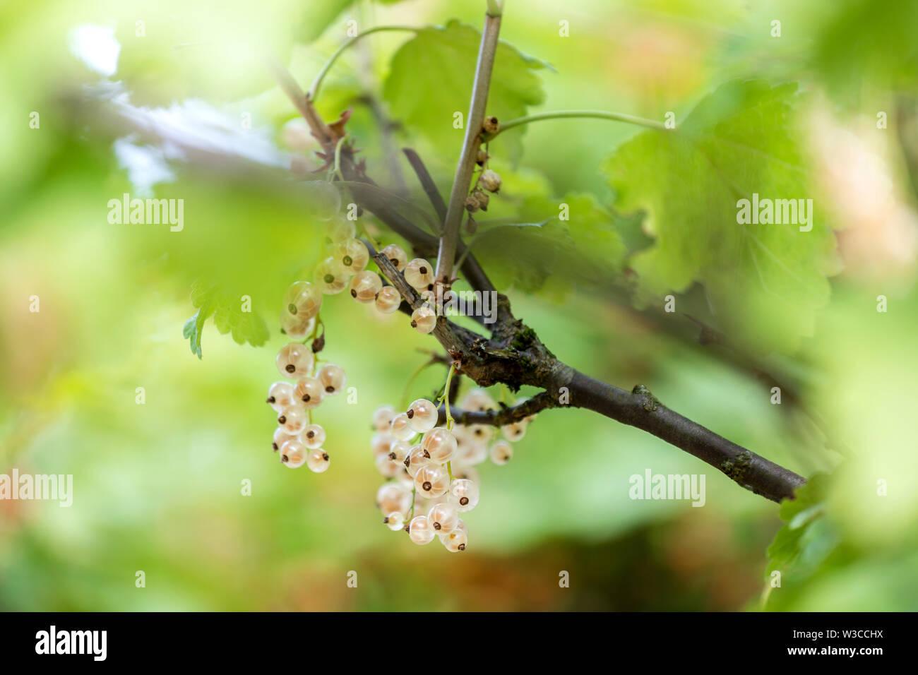 Groseilles blanches jardin contexte Photo Stock