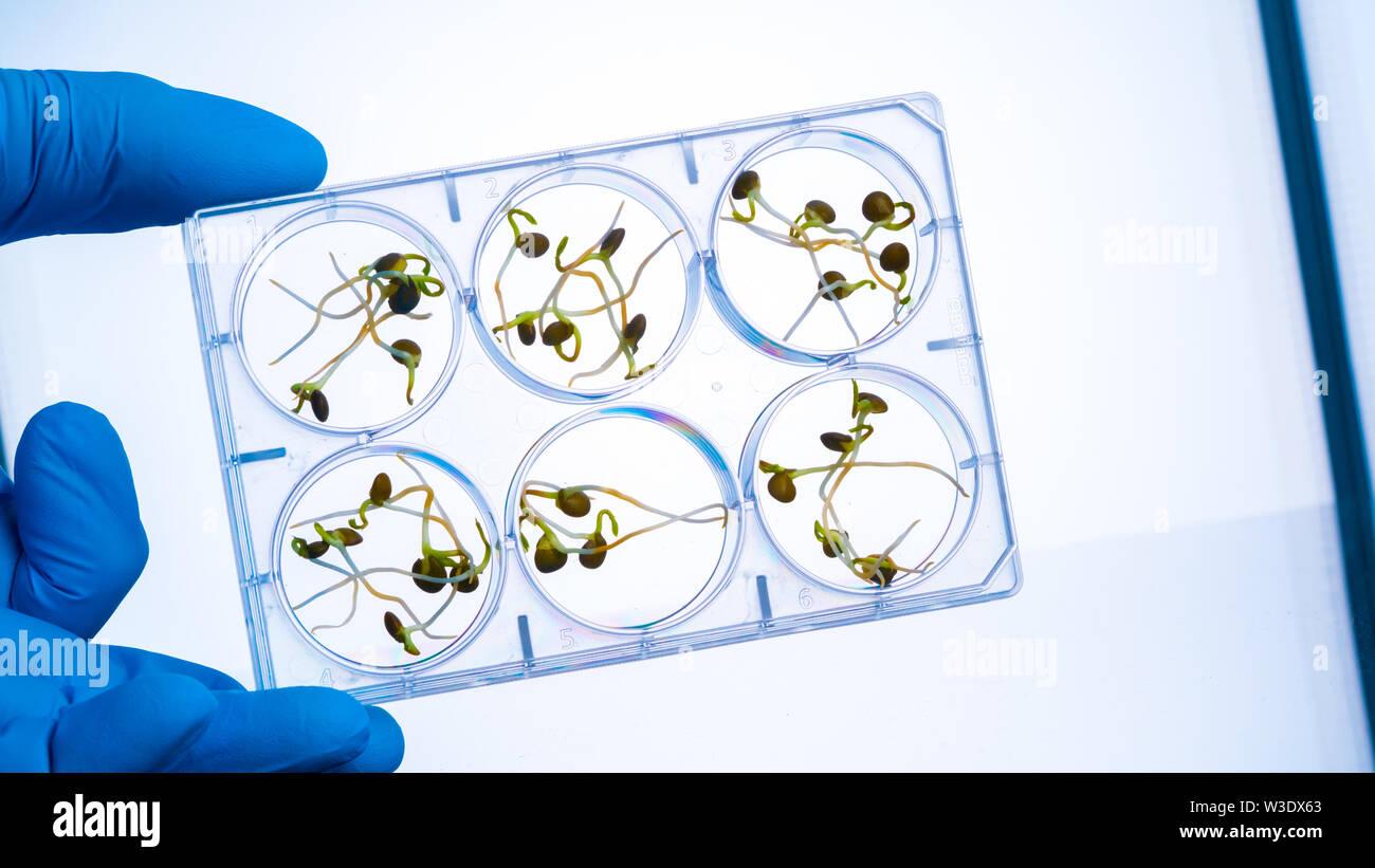 Germes Microgreen le contrôle qualité dans le laboratoire de contrôle sanitaire et épidémiologique Photo Stock