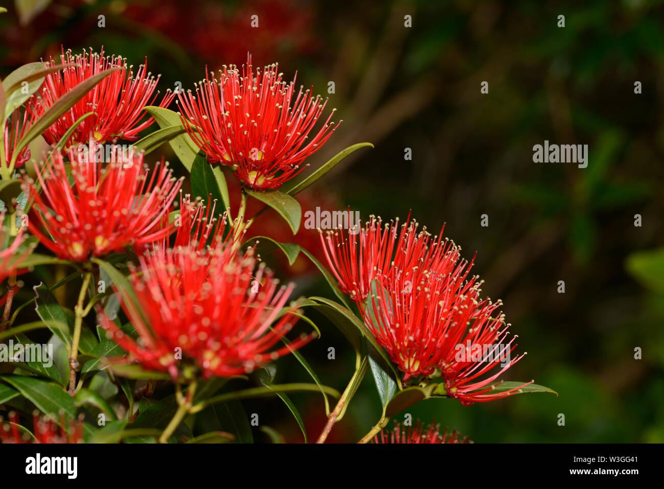 Fleurs de la Nouvelle-Zélande le Rata du Sud égayer la journée pour les visiteurs à la Gorge Otira à Arthurs Pass National Park, New Zealand. Photo Stock