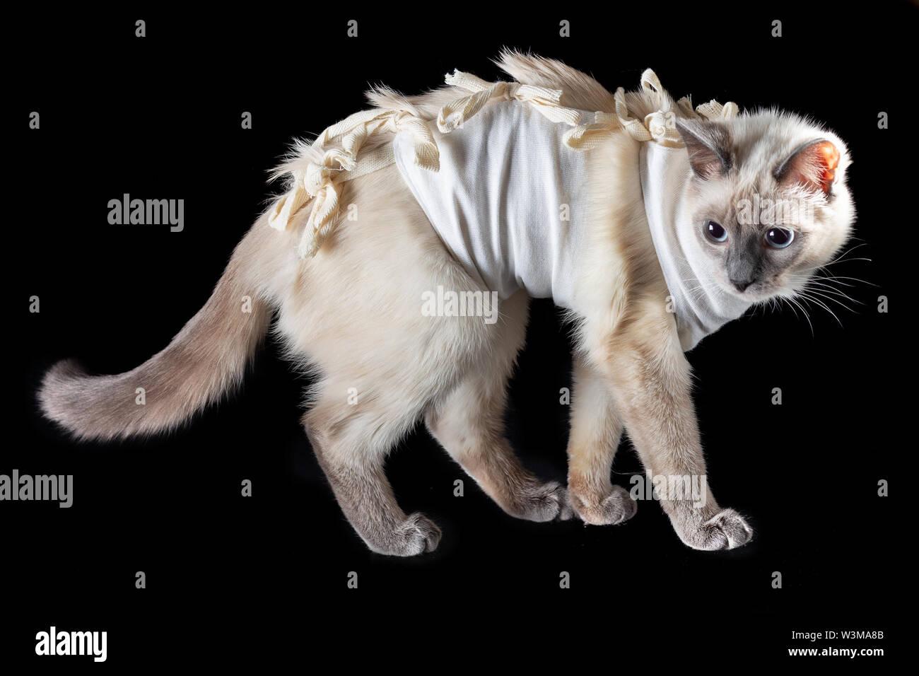 Thai cat après la stérilisation dans le pansement postopératoire sur un fond noir. Photo Stock
