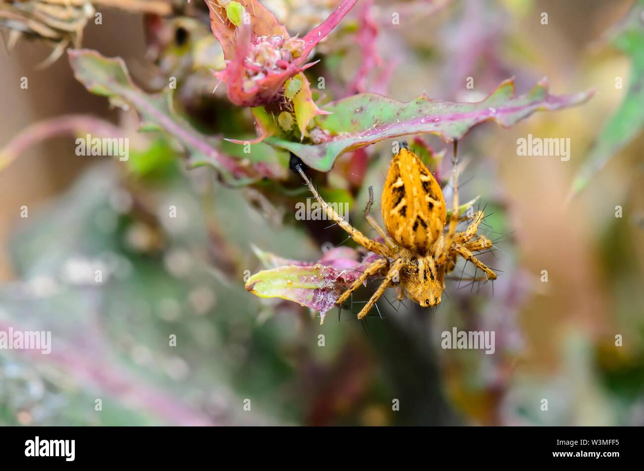Une petite araignée jaune-brun en se cachant dans la brousse Photo Stock