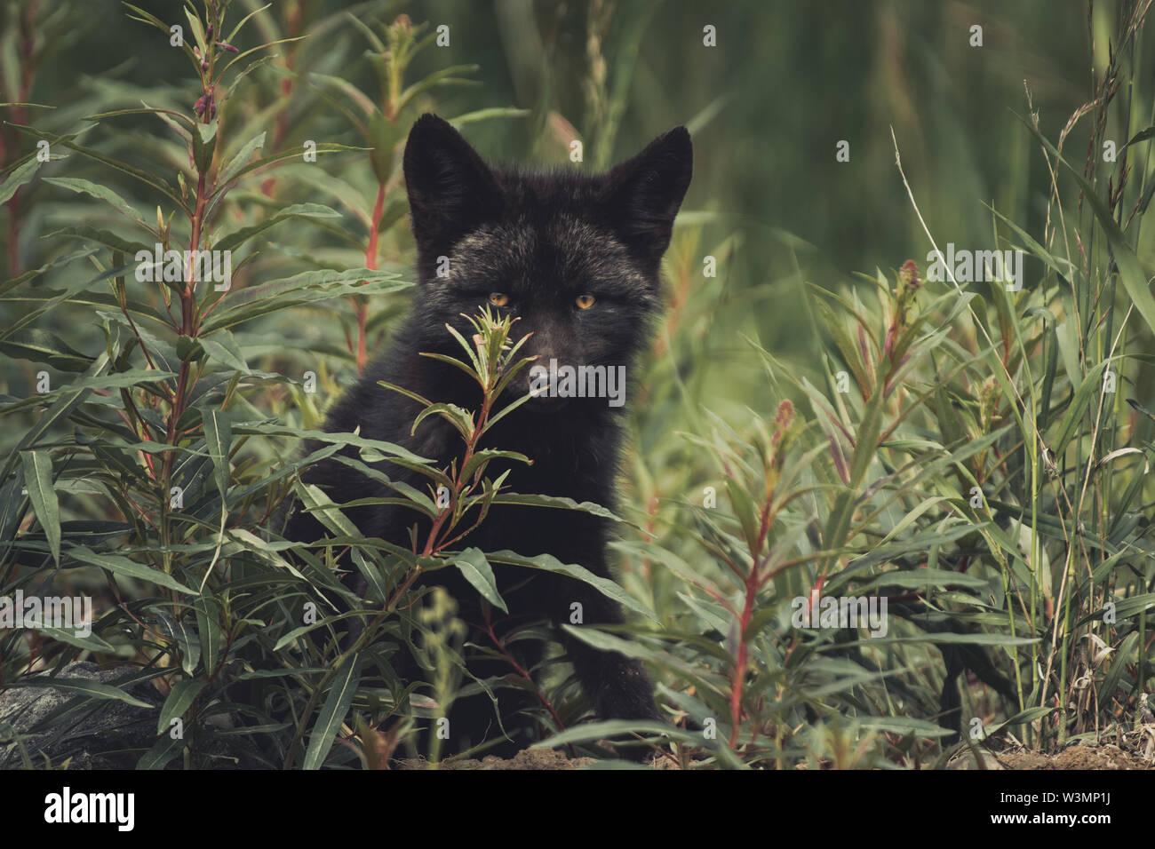 Une couleur noire bébé red fox (Vulpus vulpus) se cache dans l'épilobe entre certains. Territoire du Yukon, Canada Photo Stock