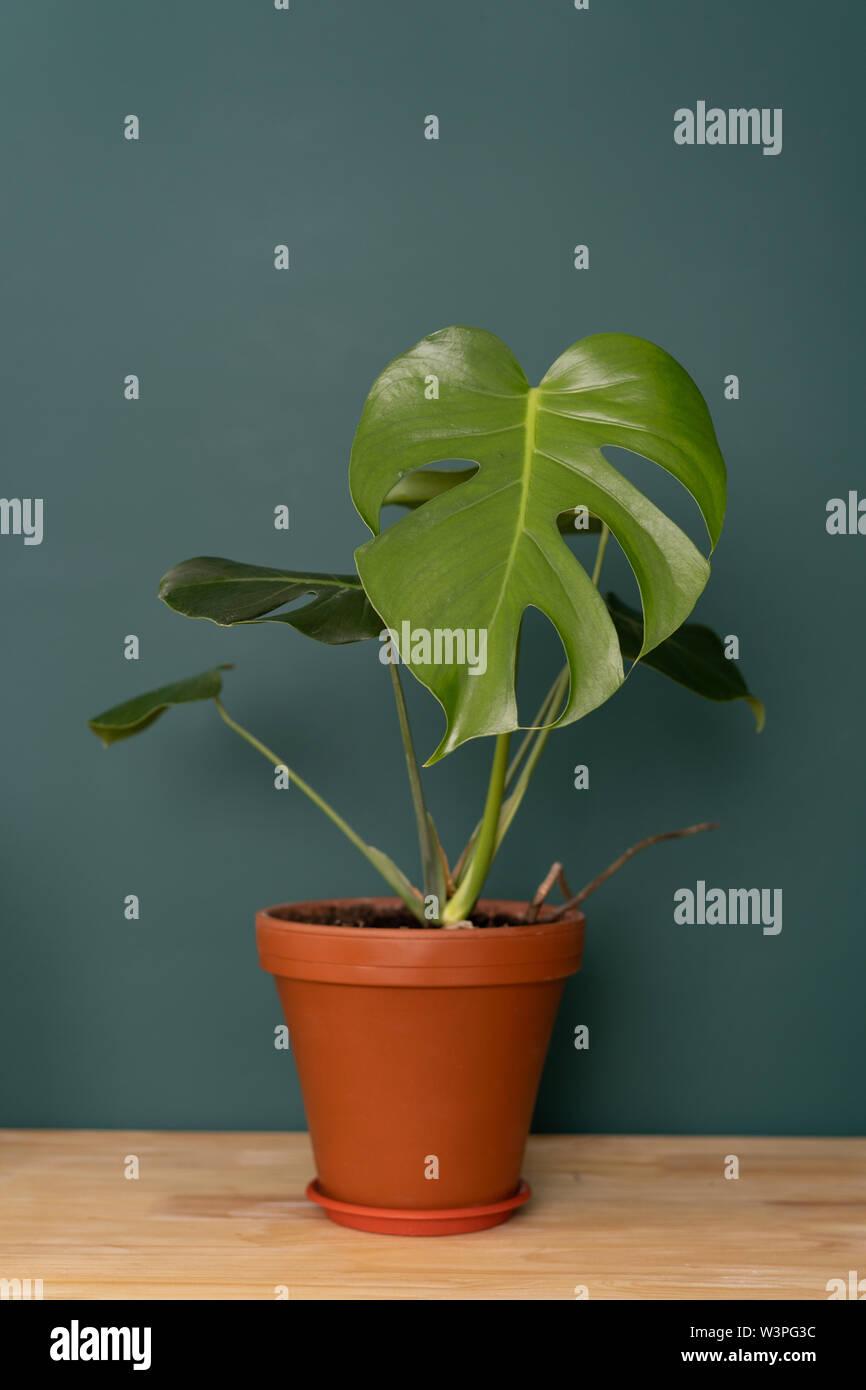 Plante d'intérieur à l'intérieur - Monstera sur une table en bois contre un mur vert Banque D'Images