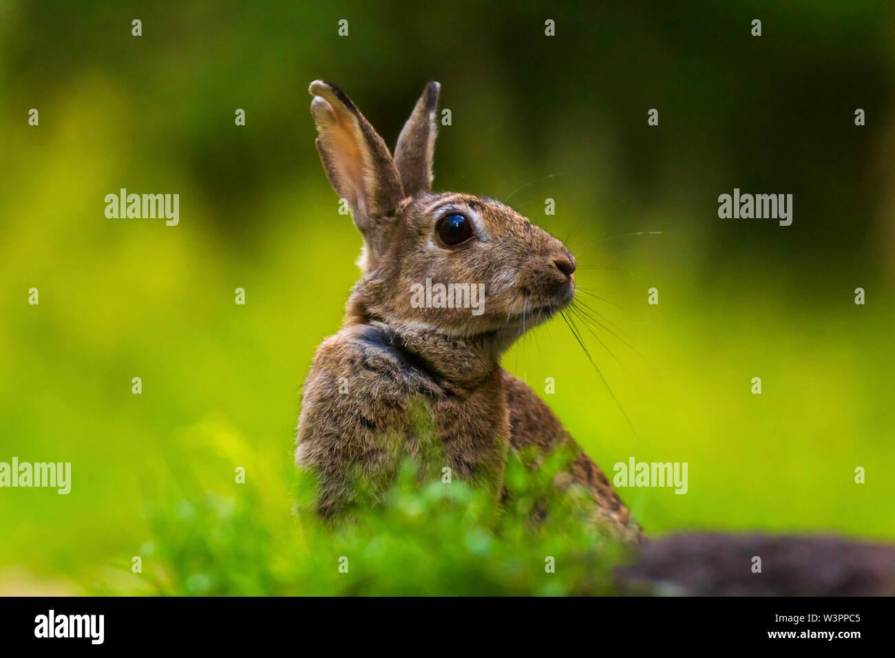Libre d'un lapin sauvage Oryctolagus cuniculus sur la montre se cacher dans l'herbe dans une forêt Photo Stock