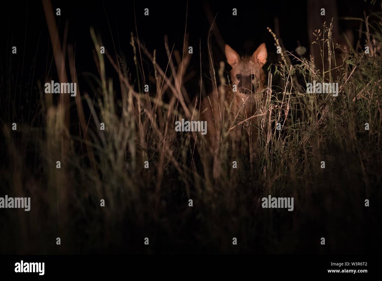 Un Proteles cristata aardwolf, pics, par de l'herbe tandis que dehors la chasse nocturne à Madikwe Game Reserve, North West, Afrique du Sud. Banque D'Images