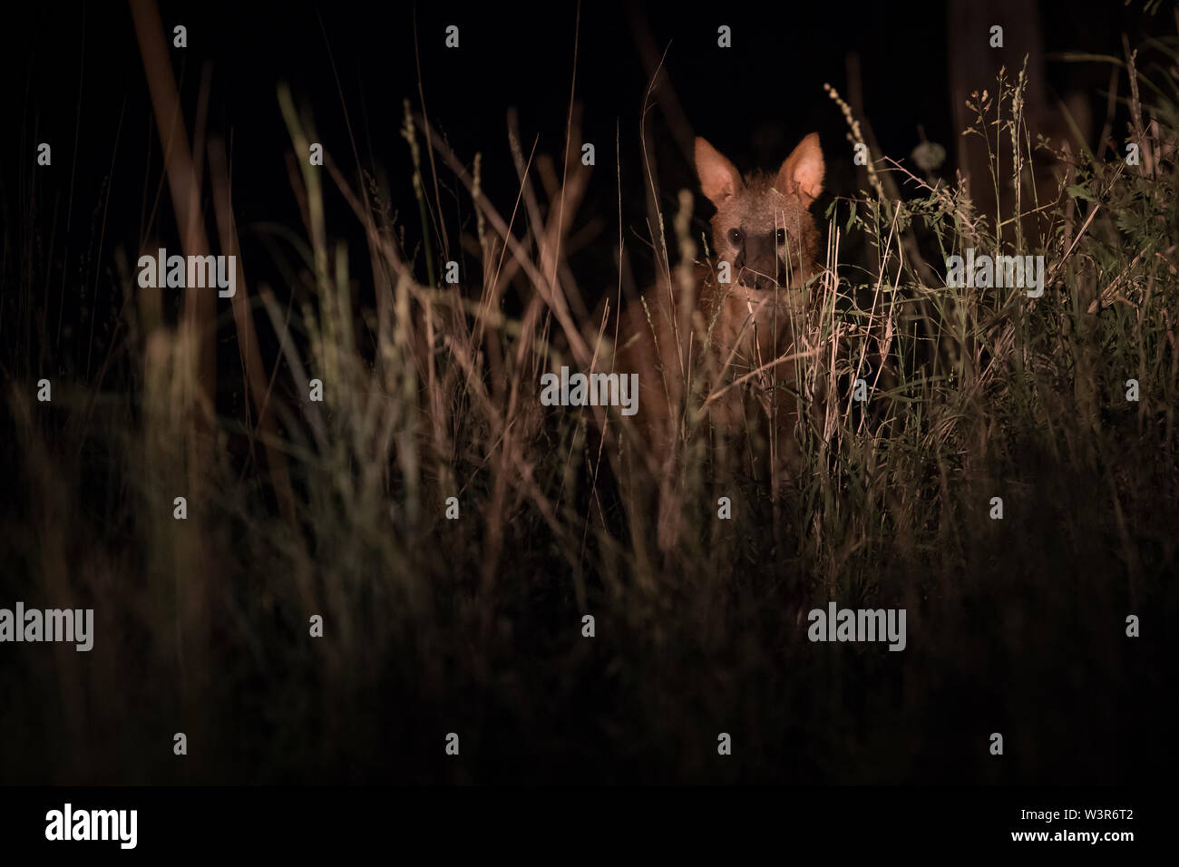 Un Proteles cristata aardwolf, pics, par de l'herbe tandis que dehors la chasse nocturne à Madikwe Game Reserve, North West, Afrique du Sud. Photo Stock