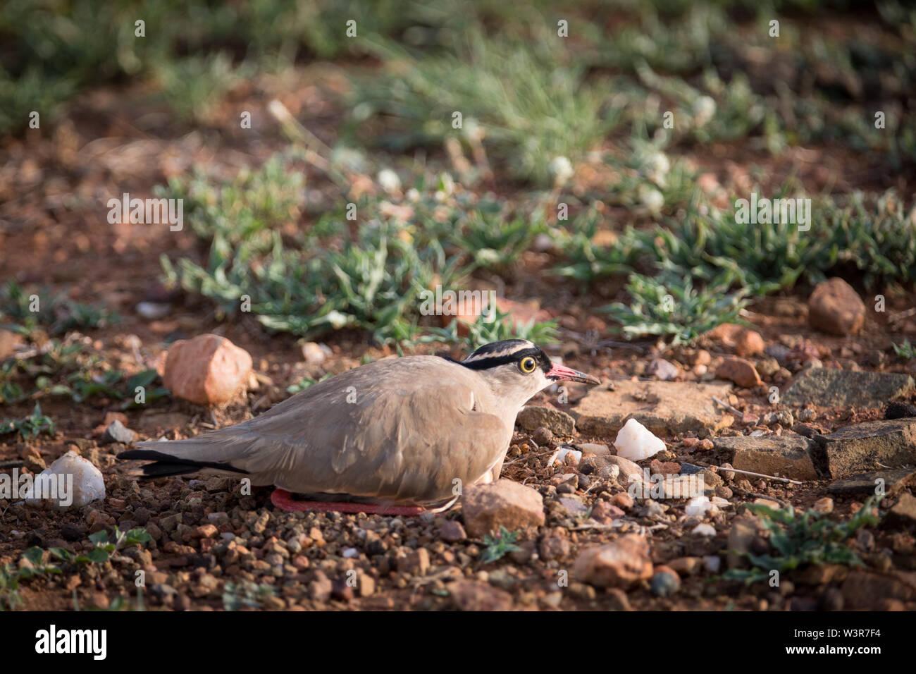 Vanneau couronné, Vanellus coronatus, Madikwe Game Reserve, Province du Nord-Ouest, Afrique du Sud Photo Stock