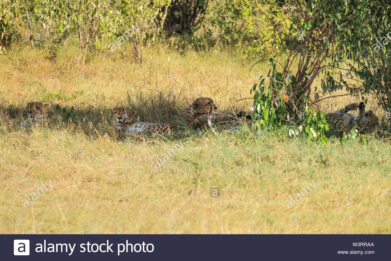 Quatre guépards, Acinonyx jubatus, couchée à l'ombre. Le Masai Mara National Reserve, Kenya, Afrique. Hidden et camouflé dans l'herbe Banque D'Images