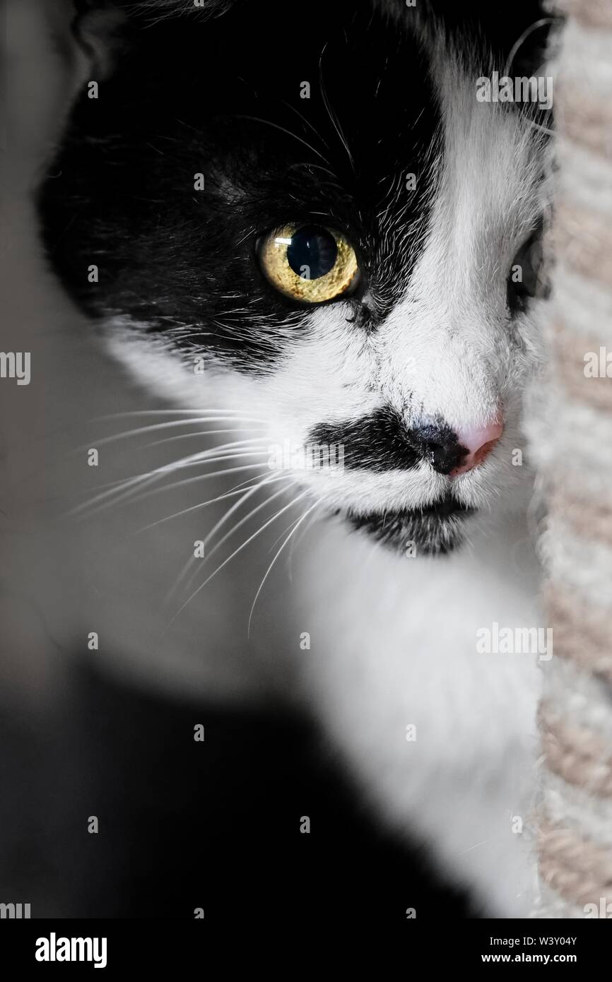 Cute cat tuxedo se cacher derrière un scratcher. Vertical image avec soft focus. Photo Stock