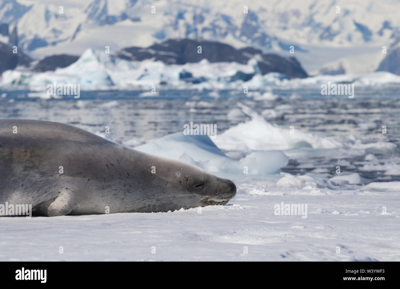 Le sceau Lobodon carcinophaga crabiers , également connu sous le nom de mangeur de krill, joint d'étanchéité est un vrai couché sur l'iceberg en Antarctique péninsule. Banque D'Images