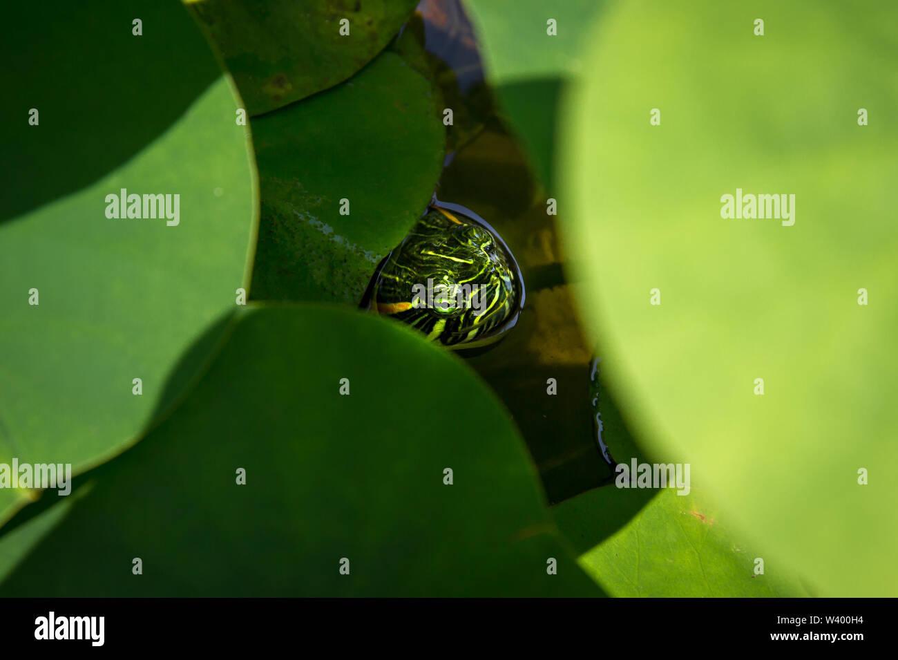 Turtle se cache dans un étang sous certaines feuilles Photo Stock