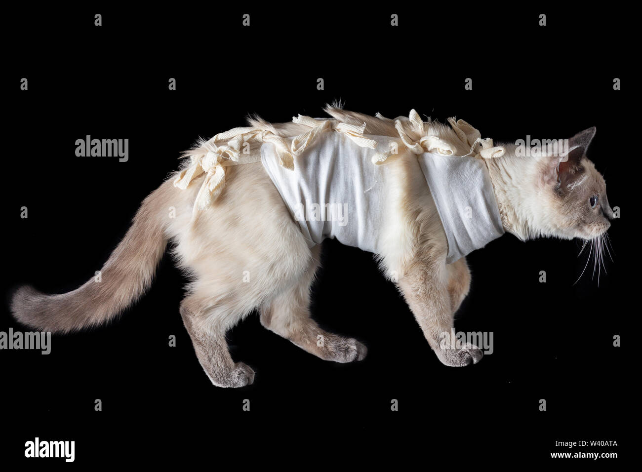 Thai cat dans un pansement postopératoire sur un fond noir. Isolé sur noir, Close up Photo Stock