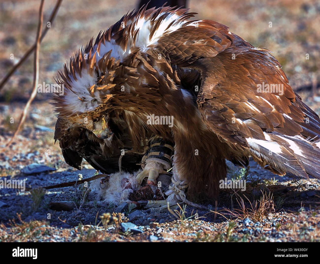 Golden Eagle mange de la viande de lapin les morts. Festival golden eagle de l'Altaï. L'ouest de la Mongolie Banque D'Images