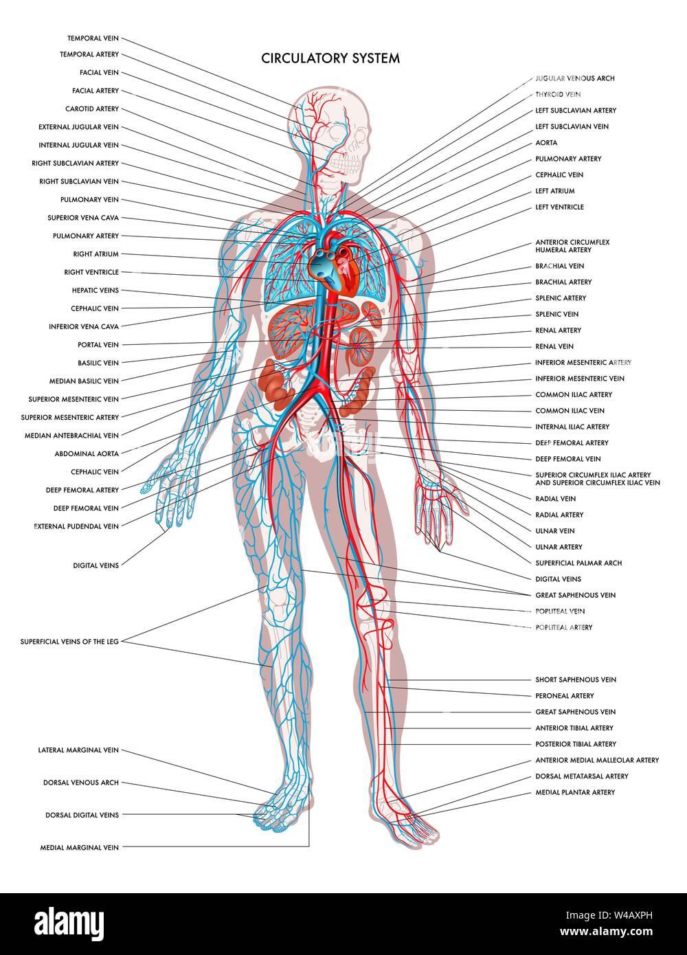 Diagramme étiqueté indiquant les détails du corps humain l'appareil circulatoire. Illustration de Vecteur
